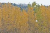 Albino Red-tail DSC_7760-1.jpg