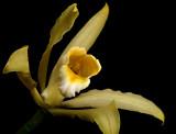 Cattleya forbesii, yellow, close
