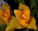 Lycaste balsamea, flower 4 cm