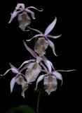Barkeria spectabilis, flowers  6 cm