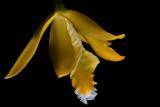 Euchile citrina