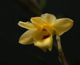 Dendrobium sanguinolentum