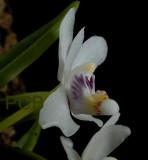 Pteroceras semiteretifolium