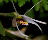 Diplocaulobium chrystropis