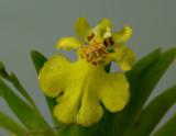 Oncidium pusillum, flower 2 cm