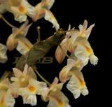 Dendrobium nathanielis, flowers 12 mm