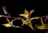 Lanium avicola