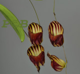 Gallery Lepanthes Lepanthopsis orchids