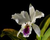 Cattleya labiata semi-alba, botanic, strong sweet scent
