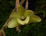 Dendrobium serratilabium