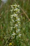 Welriekende nachtorchis Pl. bifolia, Duinen Nederland