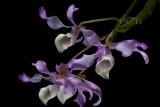 Dendrobium tortile, Ueang Kao Kiu Mae Sariang,  flowers 8 cm