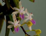 Cleisostoma ensifolia flowers 1-1.3 cm