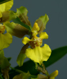 Oncidium longipes,  green petals, flower 2.5 cm