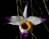 Dendrobium falconeri,  Ueang Sai Wisut