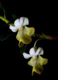 Dendrobium ellypsophyllum, flowers 2 cm