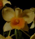 Dendrobium griffithianum,  Ueang Matcha Lueang