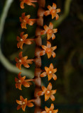 Chamaeangis hildebrandtii,  flowers 3 mm