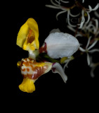 Oncidium sect. heterantha, O. lepturum, close