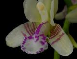 Sederia japonica, lip