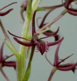 Liparis pilifera, close, flowers 1 cm
