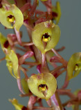 Malaxis calophylla close, flowers 5 mm