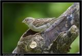 h sparrow female.jpg