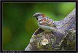 h sparrow male.jpg