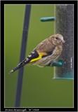 Baby goldfinch.jpg