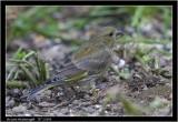 baby greenfinch.jpg