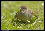 baby sparrow.jpg