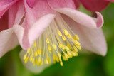 Backyard Columbine