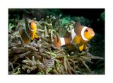 Twin Percula clownfish