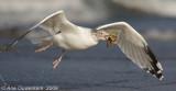 Zilvermeeuw / Herring Gull