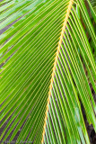 Coconut  Frond