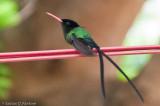 Doctor Bird (Streamer-Tail Humming Bird)