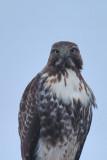 Buse à queue rousse,juvenile (Red-tailed hawk)