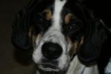 barney_du_beagle