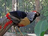 Pheasant #1