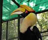 Great hornbill (Bucerso bicornis)