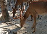 Hog deer feeding