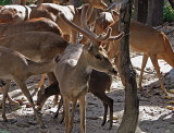 Many hog deer