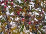 snow berries.jpg