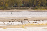 Geese on sandbar in front of Charles Island
