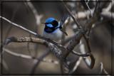 Blue Wren4096.jpg