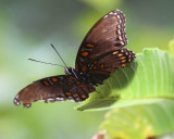 Red-spotted Admiral.jpg