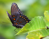 Red spotted Admiral2.jpg
