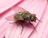 Fly on pink flower 5029 (V69)