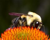 Bee on coneflower 4968 (V69)