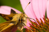 Skipper butterfly 5161 (V69)
